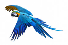 Blue And Gold Macaw Isolated On White Background.