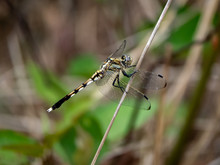 Female Whitetailed Skimmer On ...