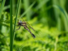 Female Whitetailed Skimmer On ...