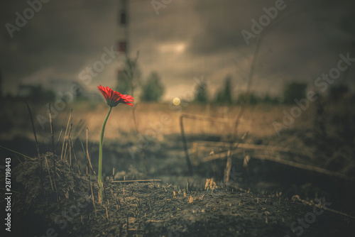 Blooming red gerbera is growing from a burnt ground on a smoking chimney background. Pollution of environment concept.