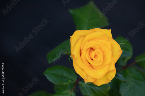Frontal view of one Yellow Rose in the garden. Floral background.