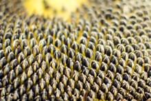 Sunflower Seeds Close Up Shot....