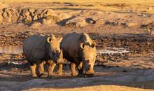 Two Rhino Facing Viewer By Wat...