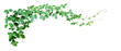 Leinwandbild Motiv Bush grape or three-leaved wild vine cayratia (Cayratia trifolia) liana ivy plant bush, nature frame jungle border isolated on white background, clipping path included.