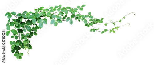 Bush grape or three-leaved wild vine cayratia (Cayratia trifolia) liana ivy plant bush, nature frame jungle border isolated on white background, clipping path included. - 287212078