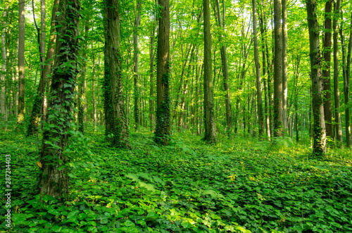 Sunlight in the green forest, spring time - 287214403
