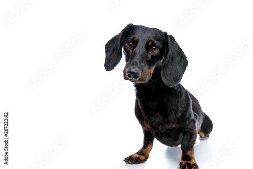 Foto op Aluminium Crazy dog Teckel puppy dog with black fur looking ahead curiously