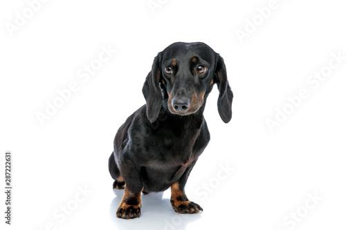 Foto op Aluminium Crazy dog little Teckel puppy dog with black fur looking away mystified