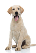 Happy Young Labrador Retriever Puppy Dog Siting And Panting