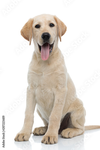 happy young labrador retriever puppy dog siting and panting Fototapeta