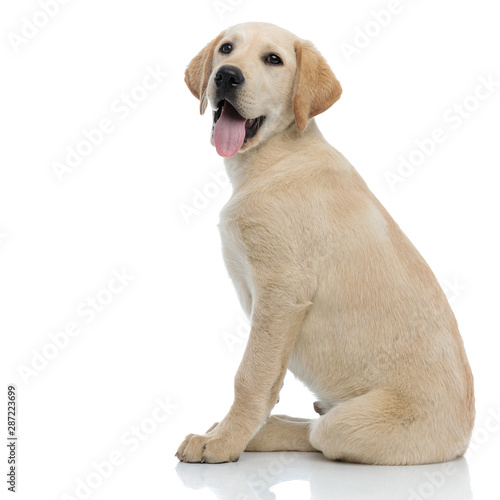 side view of a happy panting labrador retriever puppy sitting Tableau sur Toile