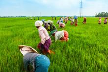 Farmers Working In Rice Field