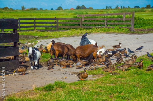 animals grazing on farm on green grass outdoor at sunny day