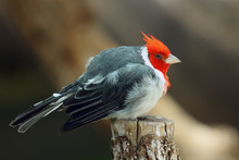 The Red-crested Cardinal (Paro...