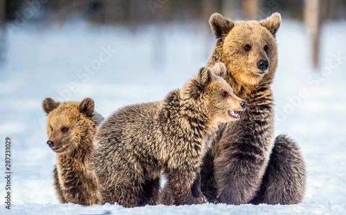 Fotografia, Obraz She-Bear and bear cubs on the snow
