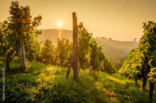 Fotomural Weinberg Rebstöcke Weinstöcke im Gegenlicht Sonne