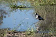 Blacksmith Lapwing (Plover) Wading In The Water Surrounded By Grasses.  Image Taken On The Okavango Delta In Botswana.