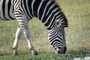 Fototapeta na wymiar Close-up of an adult zebra grazing on grass. Image taken on the Okavango Delta, Botswana.