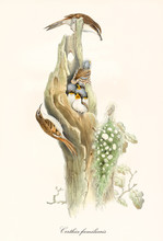 Couple Of Brown And White Birds Made A Nest In An Empty Bark Where We Can See Their Children. Old Illustration Of Eurasian Treecreeper (Certhia Familiaris). By John Gould Publ. In London 1862 - 1873