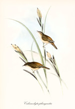 Two Little Cute Brownish Birds On A Blade Of Grass. Old Detailed And Colorful Illustration Of Sedge Warbler (Acrocephalus Schoenobaenus). By John Gould Publ. In London 1862 - 1873