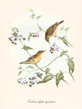 Two Little Cute Birds On A Single Thin Braided Branch. Old Detailed Isolated Illustration Of Aquatic Warbler (Acrocephalus Paludicola). By John Gould Publ. In London 1862 - 1873