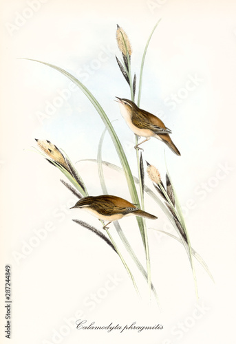 Canvas Print Two little cute brownish birds on a blade of grass