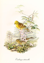 Two Little Cute Birds Getting Off A Branch To The Ground Outdoor. Detailed Hand Colored Old Illustration Of Yellowhammer (Emberiza Citrinella). By John Gould Publ. In London 1862 - 1873