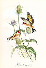 Two Little Cute Happy Birds With Opened And Closed Wings On Buds Of A Single Thin Plant. Vintage Hand Colored Illustration Of Goldfinch (Carduelis Carduelis). By John Gould Publ. In London 1862 - 1873