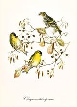 Three Yellow Cute Little Birds...