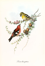 Two Cute Yellow And Red Parrots Together On A Thin Pine Branch Isolated Over A White Background. Old Illustration Of White-Winged Crossbill (Loxia Leucoptera). By John Gould, In London 1862 - 1873
