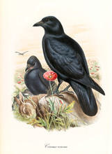 Two Black Ravens Over A Dead Prey Outdoor In The Nature. Detailed Hand Colored Vintage Illustration Of Carrion Crow (Corvus Corone). By John Gould Publ. In London 1862 - 1873