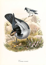 Gray Crow Stealing Eggs From A Nest Outdoor In The Nature. Detailed Hand Colored Vintage Illustration Of Hooded Crow (Corvus Cornix). By John Gould Publ. In London 1862 - 1873