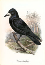 Single Isolated Crow In Profil...