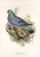Gray Dove And Its Partner In The Nest On A Branch. Vintage Style Hand Colored Illustration Of Stock Dove (Columba Oenas). Isolated Graphic Composition By John Gould Publ. In London 1862 - 1873