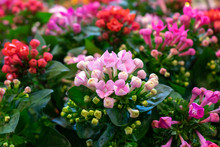 Pink Kalanchoe Saxifragales Crassulaceae Kalanchoe Flower Bloom.