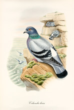 Dove On A Rock Looking At The Sea. Other Exemplars Flying On Background. Vintage Style Hand Colored Illustration Of Rock Dove (Columba Livia). By John Gould Publ. In London 1862 - 1873
