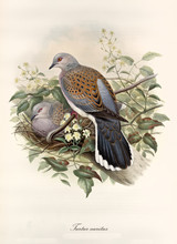 Turtledove Posing On A Branch ...