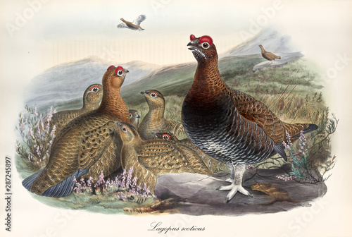 Fotografia, Obraz Vintage style hand colored illustration of a group of Red Grouse (Lagopus lagopus scotica) on a hilly ground