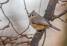 Tufted Titmouse Perched On Branch In Winter