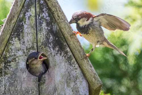 Fototapeta Sparrow father feeding baby nestlings