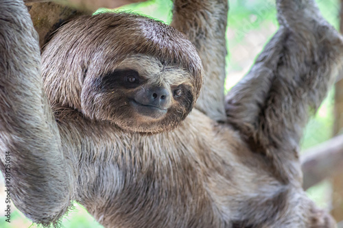 Photo Sloth Brown-throated, slow animal (Bradypus variegatus) Animal face close up