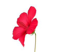 Red Blooming Hibiscus Side Vie...