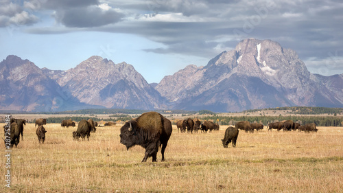 Spoed Fotobehang Buffel Bison Grazing the Autumn Meadows below the Grand Teton Mountains