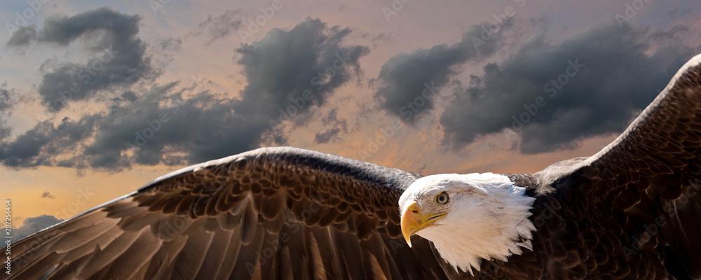 Fototapeta composite image of a bald eagle flying at sunset