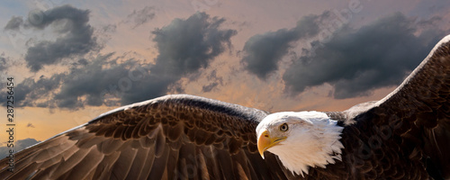 Fotografie, Obraz  composite image of a bald eagle flying at sunset