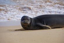 Hawaiian Monk Seals Sleeping O...