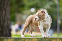 Beautiful Puppy American Bull In The Park, Copy Space.