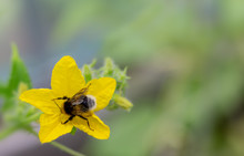 Small Bumblebee Sitting On Yellow Cucumber Flower In Greenhouse. Process Of Spreading Pollen And Gathering Nectar. Copy Space.