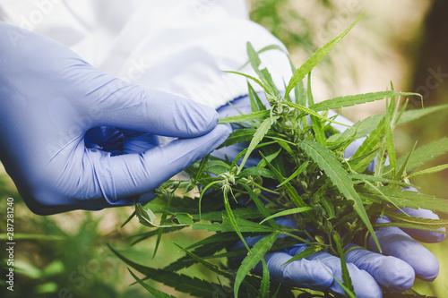 Marijuana Researcher, Female scientist in a hemp field checking plants and flowers, alternative herbal medicine concept Wallpaper Mural