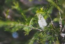 Native Australian Melaleuca Pl...